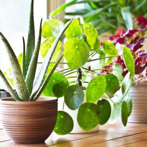 観葉植物の花言葉をプレゼントしよう・オススメのすてきな種類について