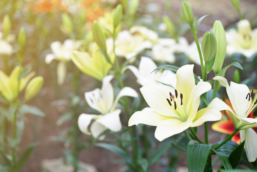 夏の花の花言葉・季節をアピールして大切な人にプレゼントしよう