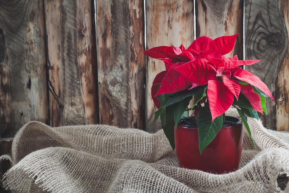 クリスマスに花言葉をプレゼント!大切な人に贈りたいオススメの種類