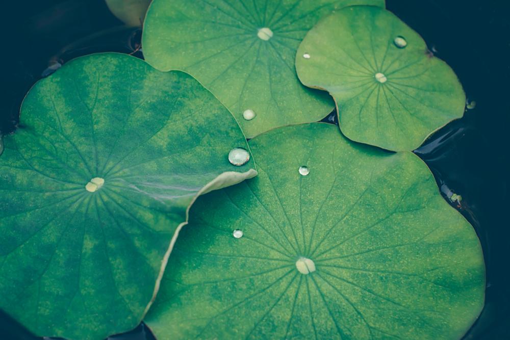 蓮の花言葉と運気アップによい理由・幸運が訪れるって本当?