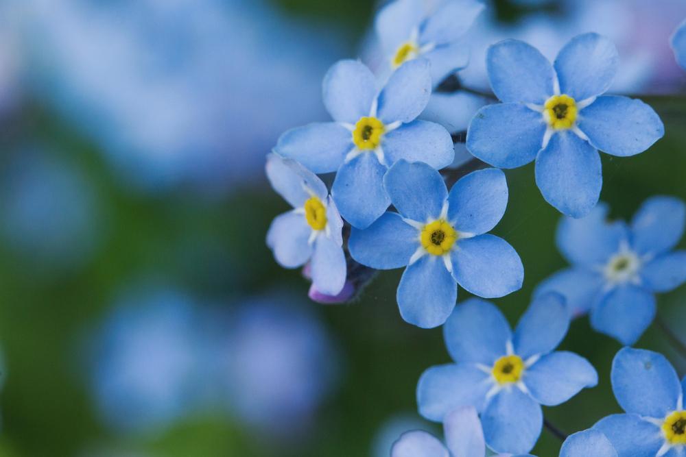 花言葉であなたを忘れないという意味を持つもの・大切な人が喜ぶオススメの種類
