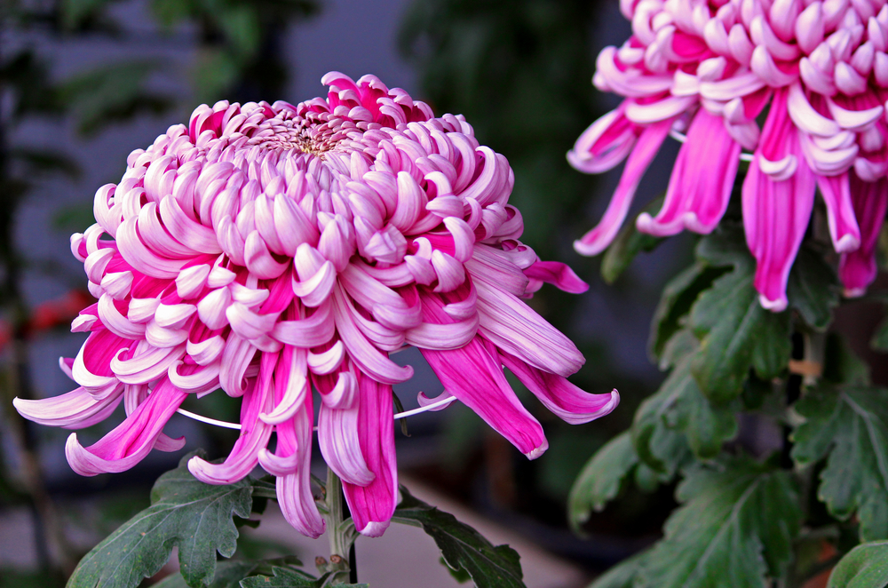 お盆の花の種類と花言葉・飾り方の意味とマナーも徹底解説